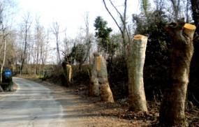 platani-capitozzati-via-del-bosco-roccolo